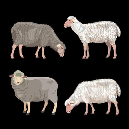Set of sheep on black background. Vector illustration