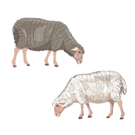Set of sheep grazing on white background. Vector illustration Illustration