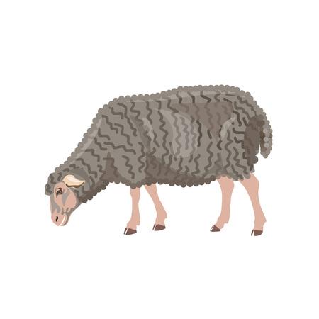 Sheep grazing on white background. Vector illustration