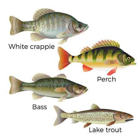Conjunto de peixes de água doce - tipo de peixe branco, poleiro, baixo e truta do lago. Ilustração vetorial, isolada no fundo branco