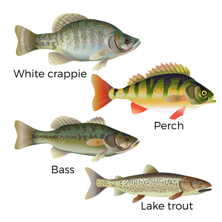 Freshwater fish set - white crappie, perch, bass and lake trout. Vector illustration isolated on white background