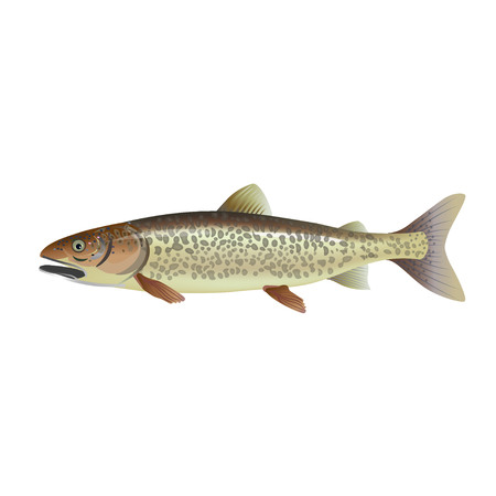 Lake trout. Vector illustration isolated on the white background Ilustração