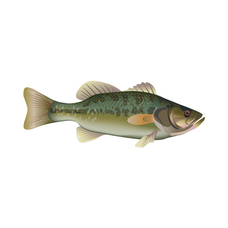 Largemouth bass. Vector illustration isolated on the white background Иллюстрация