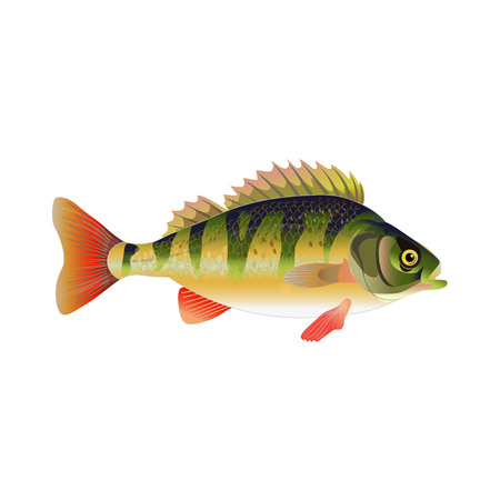 European perch. Vector illustration isolated on the white background