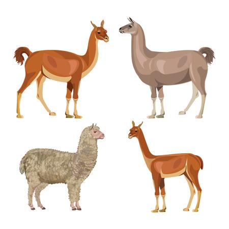 Set of South American farm animals - llama, guanaco, alpaca and vicugna. Vector illustration isolated on the white background Illustration