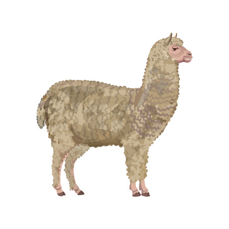 Alpaca standing, side view. Vector illustration isolated on the white background