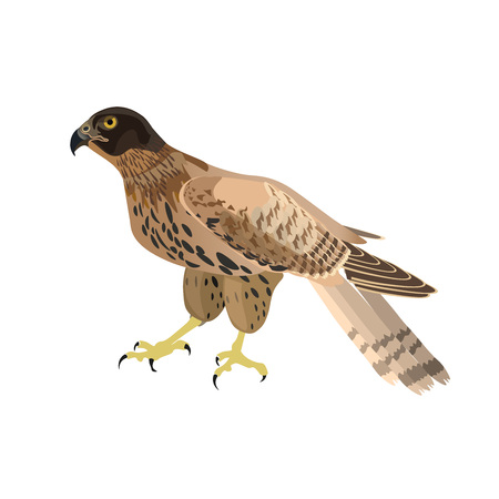 Falcon sitting isolated on white background. Vector illustration