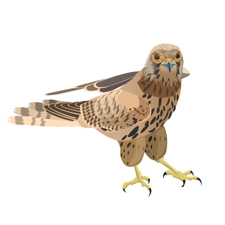 Falcon isolated on white background. Vector illustration.