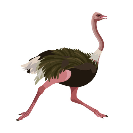 Ostrich running. Vector illustration isolated on the white background.