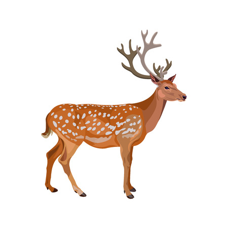 Fallow deer buck. Vector illustration isolated on the white background. Illustration