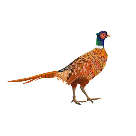 Common pheasant. Side view. Vector illustration isolated on white background.
