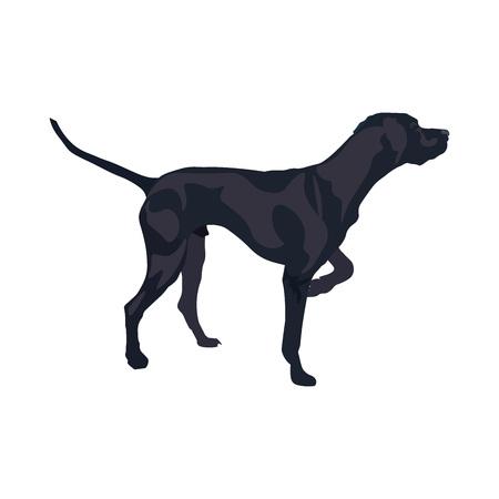 English pointer gun dog breed. Vector illustration isolated on the white background. Illustration