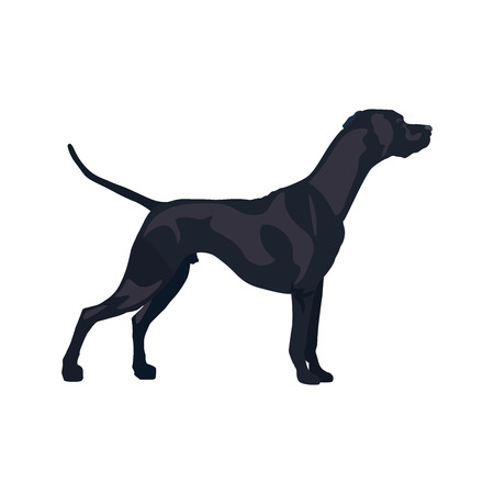 English pointer gun dog breed. Vector illustration isolated on the white background. Illustration