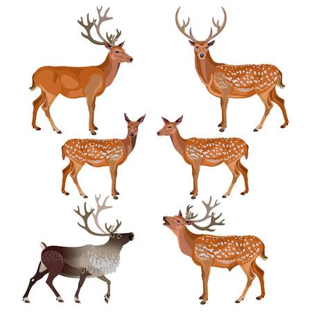Colección de ciervos aislados sobre fondo blanco. Ilustración vectorial