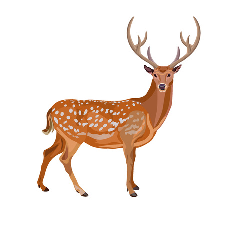 Fallow deer buck. Vector illustration isolated on the white background