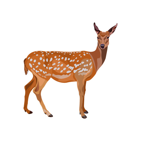 Female fallow deer. Vector illustration isolated on the white background. Stock Vector - 92994667