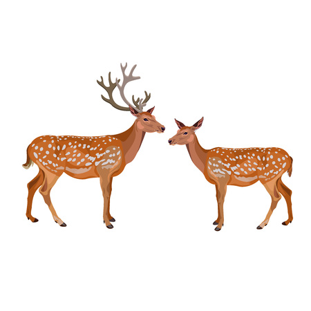 Pair of fallow deer, buck and hind. Vector illustration isolated on the white background. Illustration