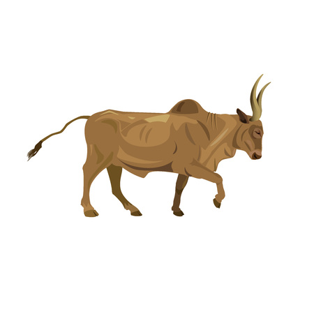Zebu bull walking. Vector illustration isolated on white background Illustration