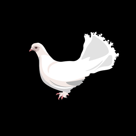 Pure white fantail pigeon. Vector illustration isolated on black background