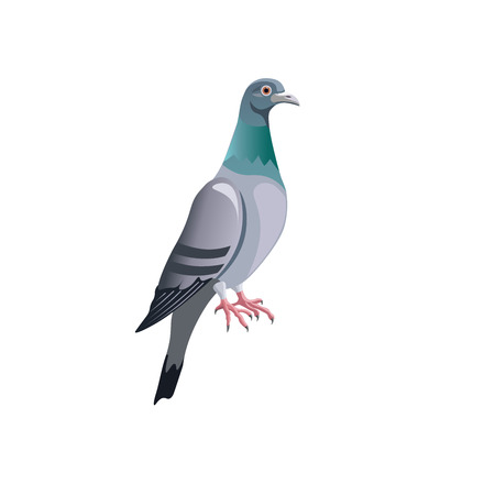 Blue rock pigeon. Vector illustration isolated on white background
