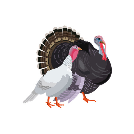 Turkey gobbler and hen, male and female. Vector illustration isolated on white background
