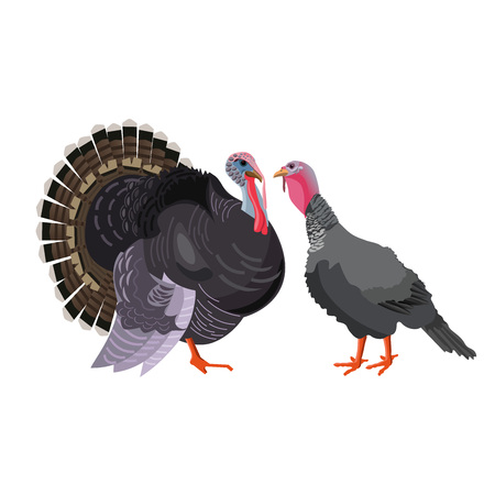 Turkey pair, tom and hen, male and female. Vector illustration isolated on white background Stock Illustratie