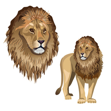 African lion - portrait and full-length. Vector illustration isolated on the white background