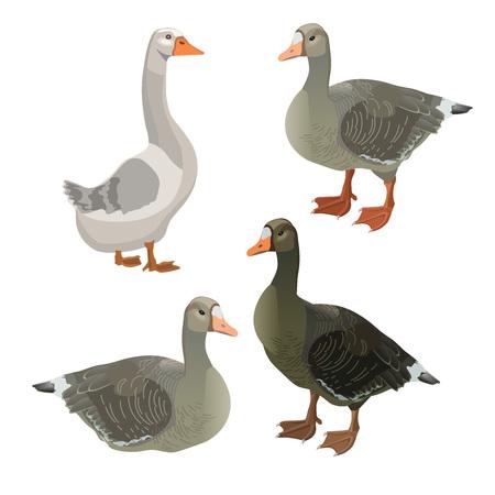 Set of vector greylag geese. Illustration isolated on white background.
