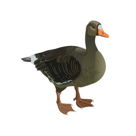Greylag goose isolated on white background. Vector illustration