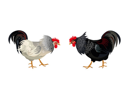 Two roosters about to fight. Vector illustration isolated on white background.