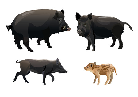 A family of wild pigs. Vector illustration isolated on white background. Illustration