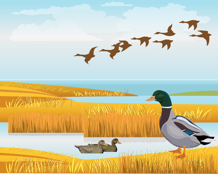 Waterscape with wild ducks. Vector illustration Ilustração