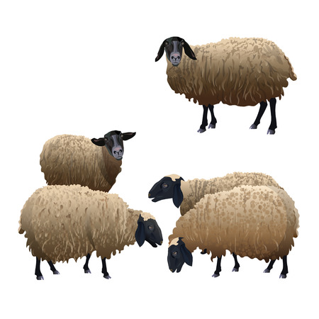 Set of vector sheeps with black head. Illustration isolated on white background Ilustrace