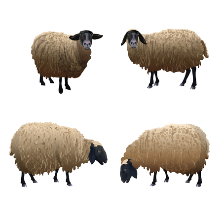 Set of vector sheeps with black head. Illustration isolated on white background Illustration