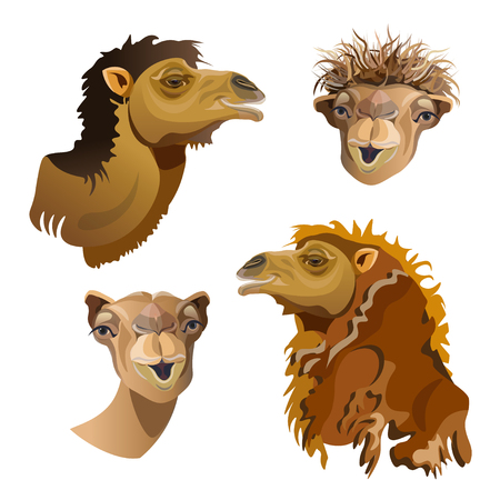 Set of vector portraits of camel close-up. Illustration isolated on white background