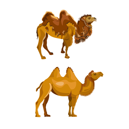 Bactrian camel during and after molting. Vector illustration isolated on white background Stock Illustratie