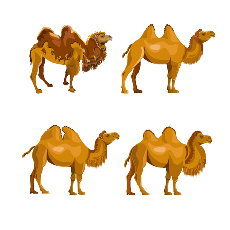 Collection of bactrian camels. Vector illustration isolated on a white background