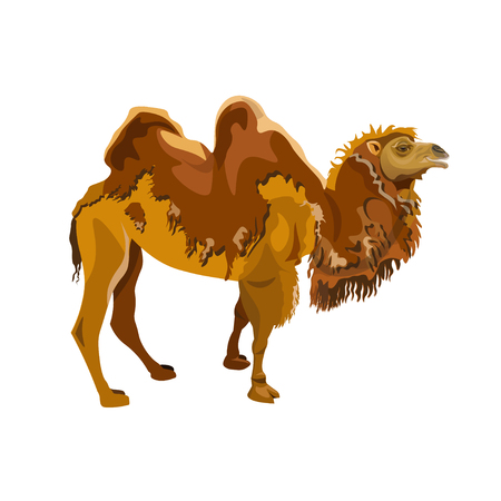 Bactrian camel shedding. Vector illustration isolated on white background Иллюстрация