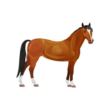 Bay thoroughbred horse. Vector illustration isolated on white background