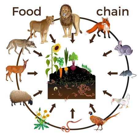Animali della catena alimentare. Illustrazione vettoriale isolato su sfondo bianco Vettoriali