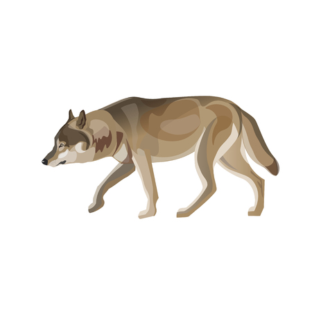 Gray wolf trotting. Vector illustration isolated on white background