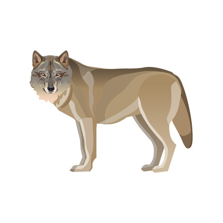 Gray wolf standing. Vector illustration isolated on white background