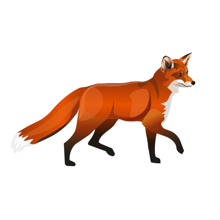 Walking red fox. Side view. Vector illustration isolated on white background Illustration