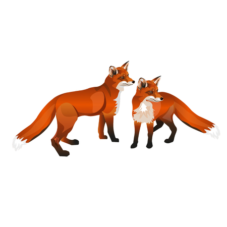 Two red foxes. Vector illustration isolated on white background