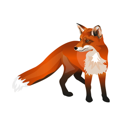 Standing red fox. Vector illustration isolated on white background Illustration