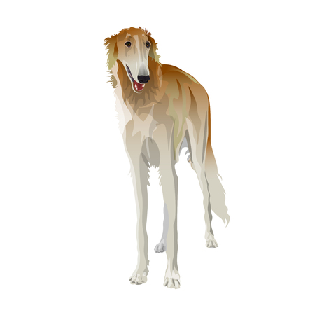Russian borzoi dog. Vector illustration isolated on white background