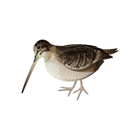 Eurasian woodcock bird. Vector illustration isolated on white background Illustration
