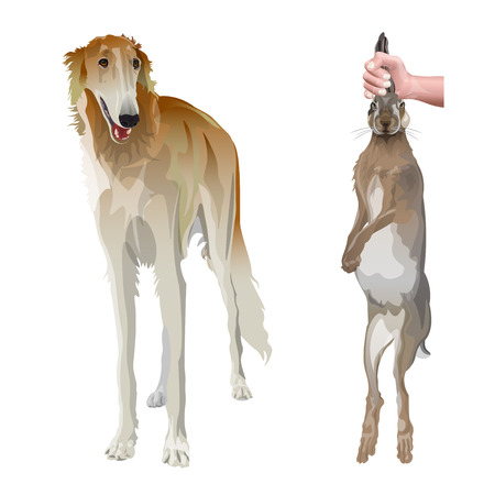 Portrait of sighthound dog in full growth with hunting hare. Borzoi or russian wolfhound. Vector illustration isolated on white background Illustration