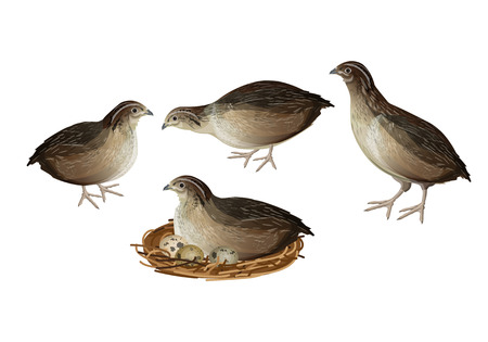 Set of quail birds in various poses. Vector illustration isolated on white background