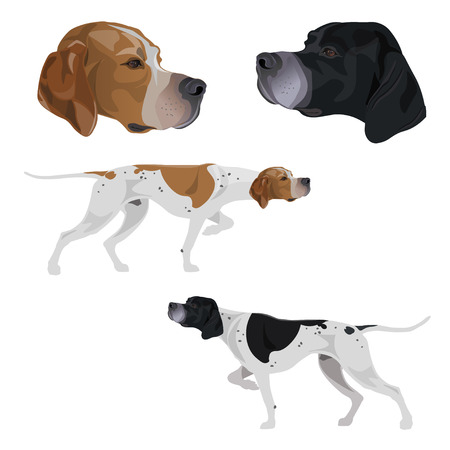 English pointer set. Dogs black and white and lemon and white coloring. Portraits of head. Traditional stance intent on game. Vector illustration isolated on white background
